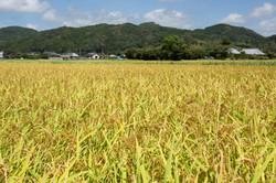 8月の田んぼ 黄金色に輝く