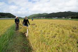 はざ掛け米トラスト 稲刈り
