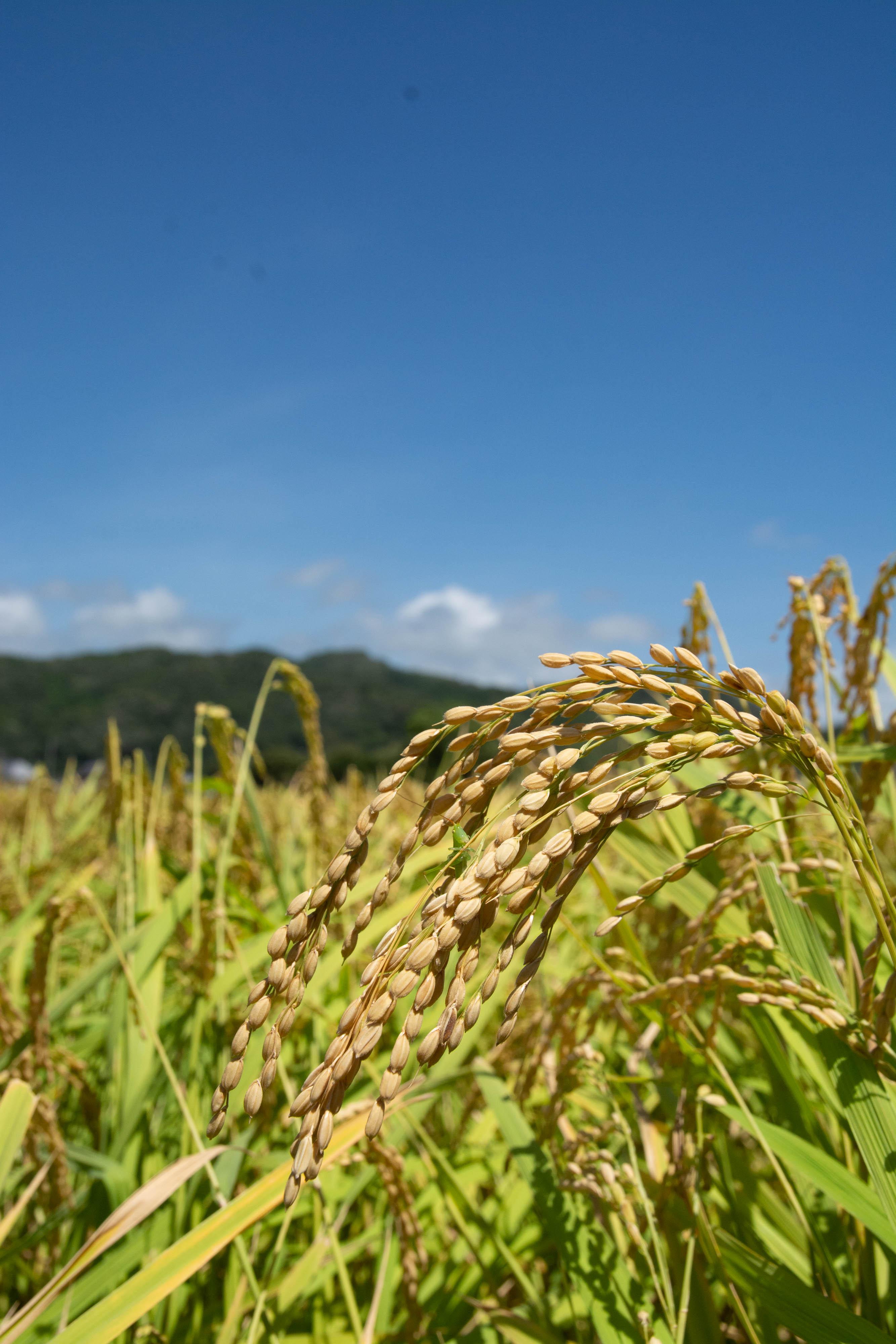 8月の田んぼ 収穫間近