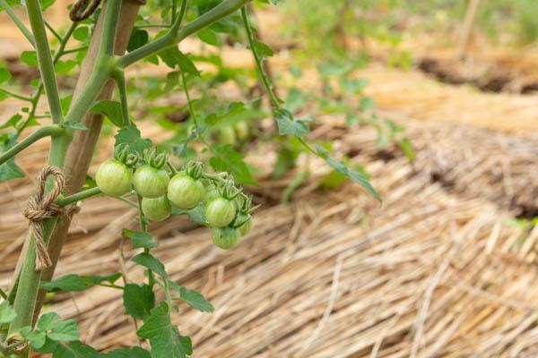 7月の畑 ミニトマト