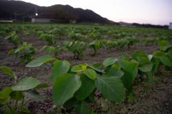 夜明けの大豆畑