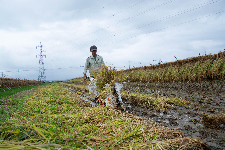 9月の田んぼ 雨上がりの稲刈り