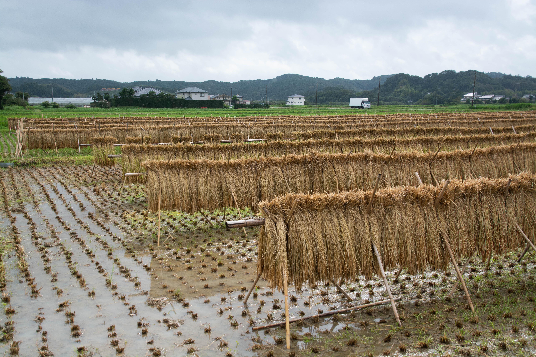 9月の田んぼ はざかけの稲