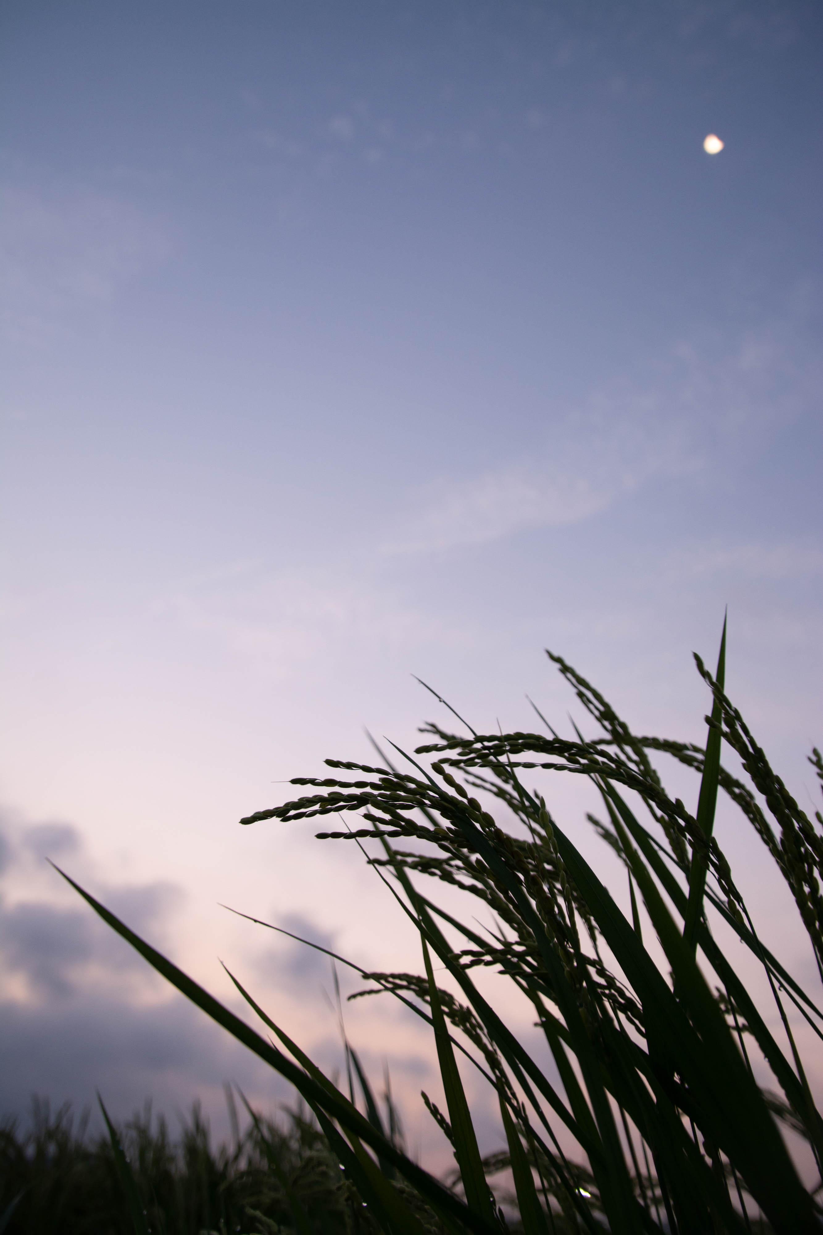 8月の田んぼ 夜明け
