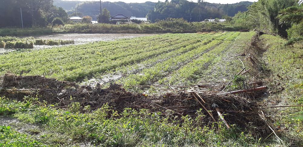今年10月25日の豪雨で川が氾濫し、一時水没したニンジン畑の様子です。