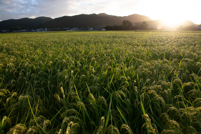 8月の田んぼ 朝日を浴びて