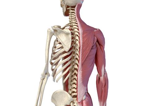 Identificada via molecular para regeneração do músculo esquelético