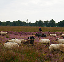 sheep-941820_1280.jpg