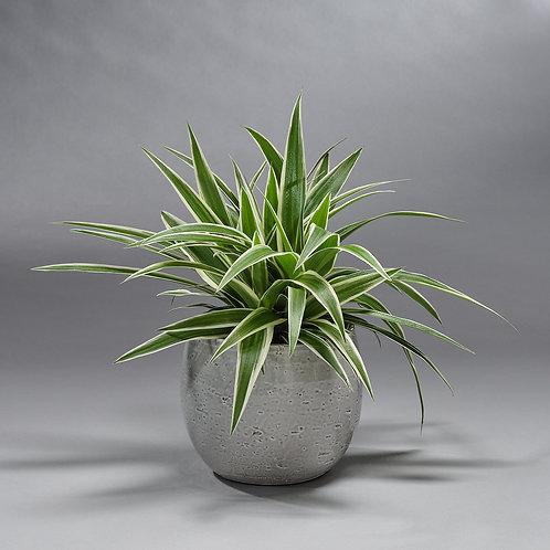 Chlorophytum (met pot)
