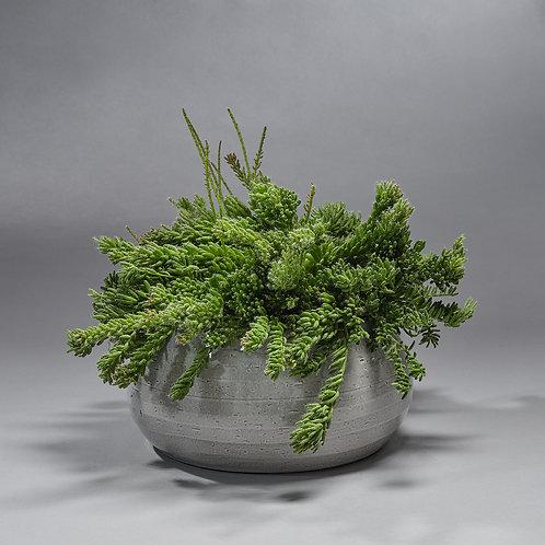 Rhipsalis (met pot)