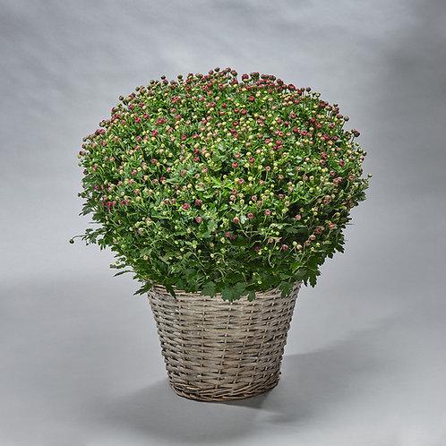 Bolchrysant (zonder mand)