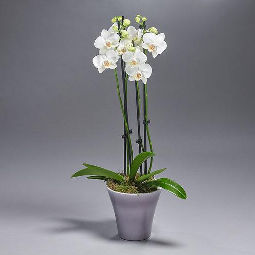 Witte Orchidee (met pot)