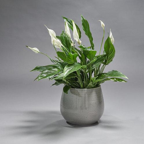Spathiphyllum (met pot)