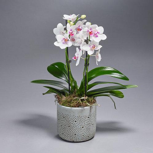 Rose Orchidee (met pot)