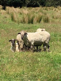 mari sheep web