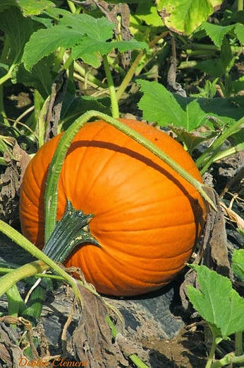 D+Pumpkin+on+Vine+4.jpg