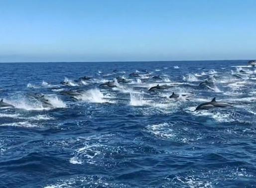 Cerca de 300 golfinhos nadam em alta velocidade com acrobacias no ar. Vídeo