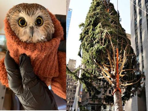 Coruja é resgatada de árvore de Natal do Rockefeller Center, em NY