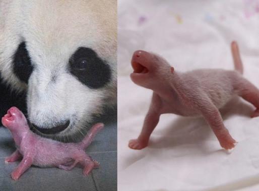 Nasce filhote de panda gigante: esperança para a espécie ameaçada