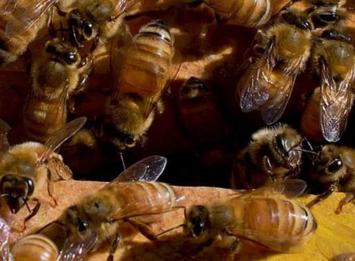 Veneno de abelhas é usado pra combater câncer de mama agressivo