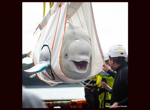 Baleias retiradas de aquário após 12 anos são libertadas em santuário no oceano