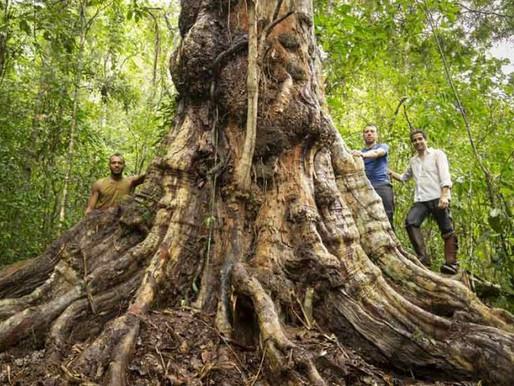 Maior árvore de pau-brasil é descoberta na Bahia: 500 anos