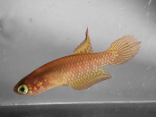 Considerado extinto, peixinho de 3 cm reaparece e faz empresa mudar projeto de fábrica no RJ