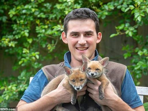 Jovem faz cesariana em raposa atropelada e salva 4 filhotes