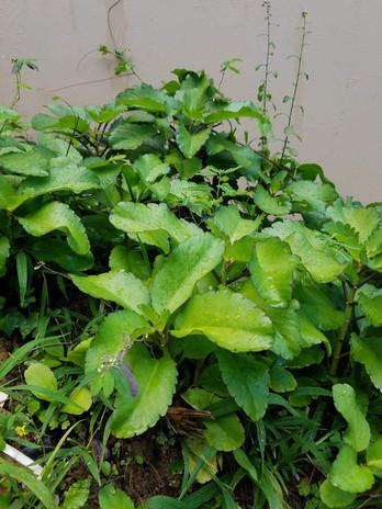 Planta de Yerba bruja desde mi Huerto
