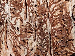 bark-beetles-4415670_1920.jpg