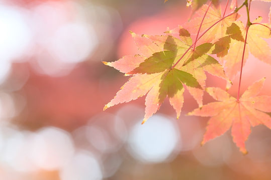 Japanese maple tree is changing leaves color .jpg