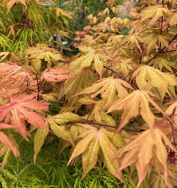 Kasagiyama Acer palmatum.jpg