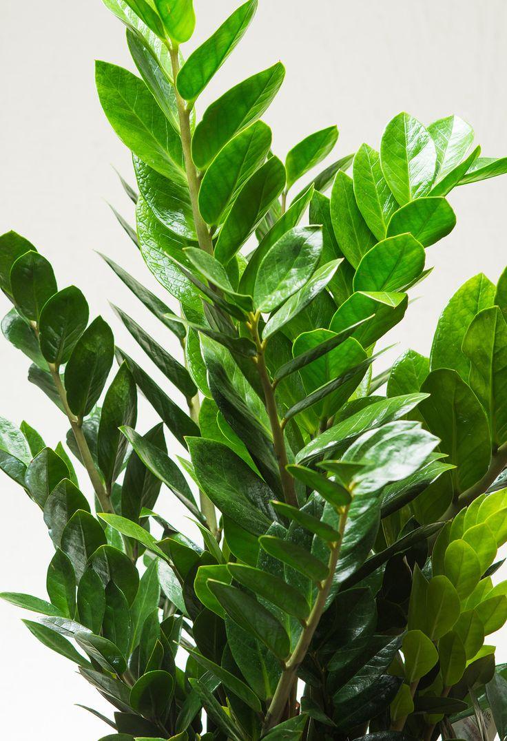 Zamioculcus Zamiifolia