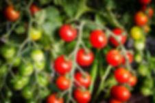 tomatoevine.jpg