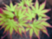 Acer_palmatum_sango_kaku.jpg