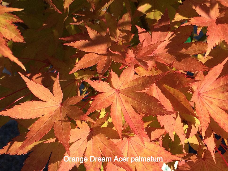 Orange Cream Japanese Maple fall leaf co