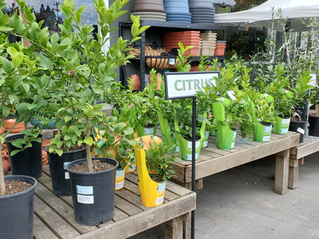 Growing Citrus in Seattle