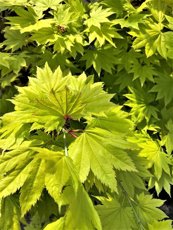 Aureum, Acer palmatum Japanese Maple.JPG