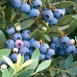 Sunshineblue berries