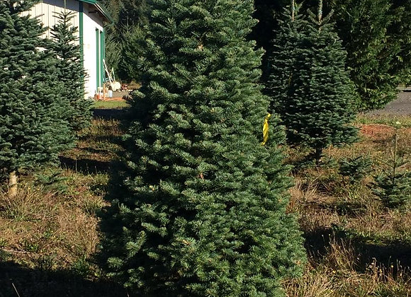 8 Foot Noble Fir