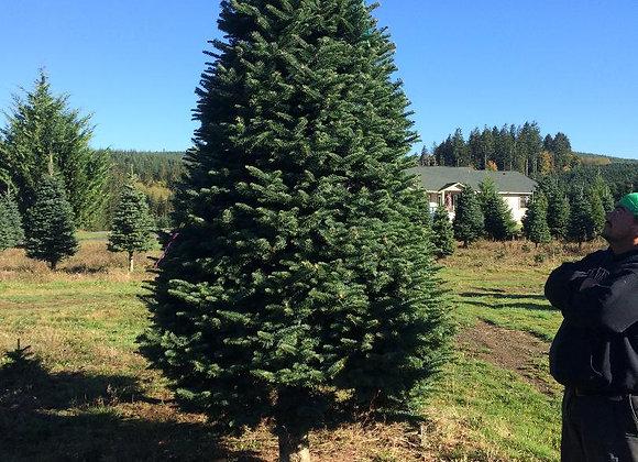 11 Foot Noble Fir Tree