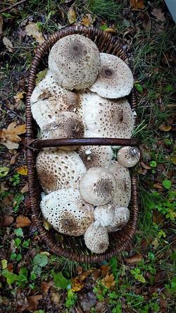 Ceuillette de champignons auxEtangs