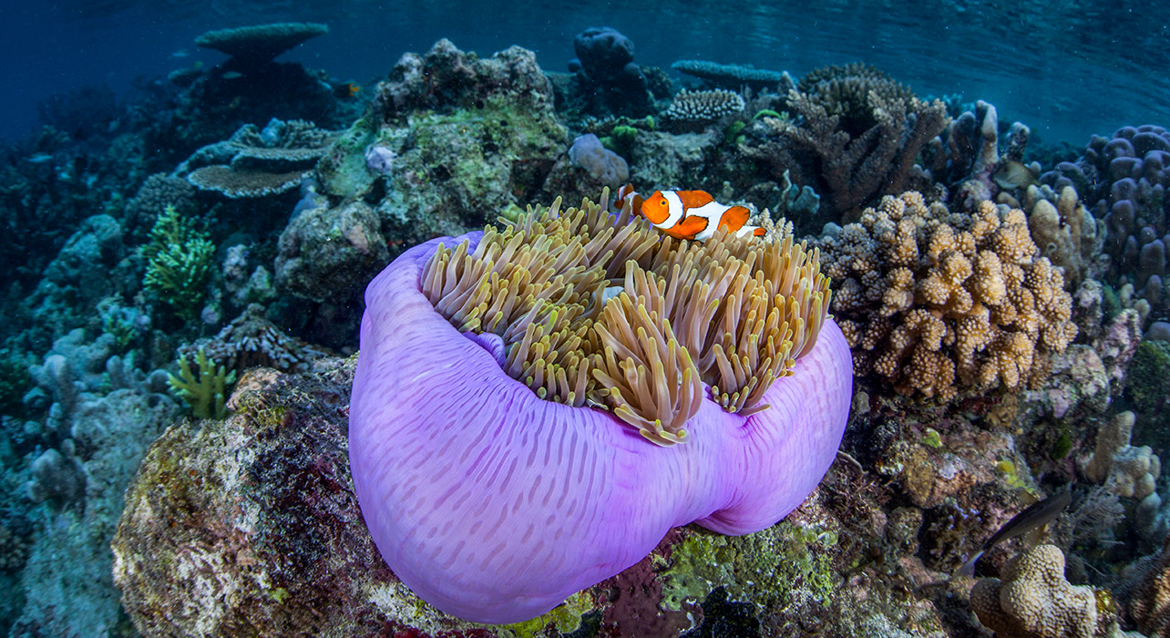 3-slide-indonesia-snorkeling-anemone-fish-pano
