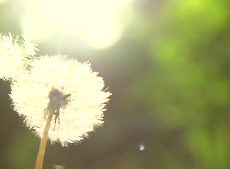 my dandelion prayer.