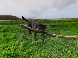 Black Labrador biting a stick whilst out Dog walking on the Somerset levels in Taunton