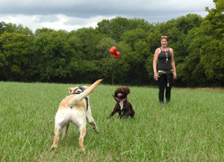 Dog walker throwing a bone for 2 dogs