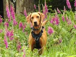 Labrador Retriever in the flowers at Wind Down Woods