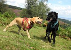 2 Labradors dog walking on the Quantocks