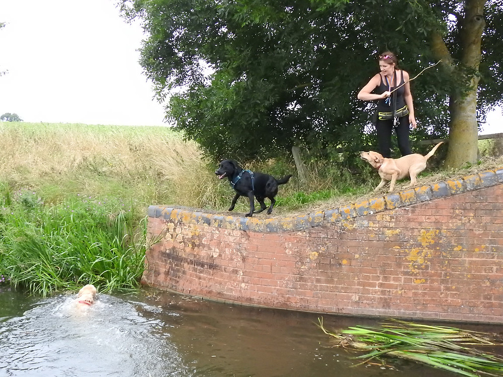 Dog Walker on the Taunton Canal throwing stick in the water for Labrador