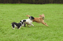Dogs chasing each other at the park in Creech St Michael, Taunton, Somerset